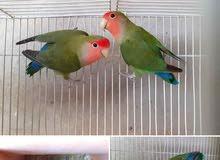 read fac birds