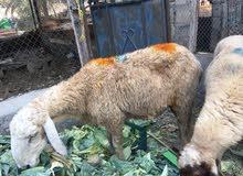 خروف كشميري للبيع