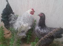 دجاجة وفروج براهما