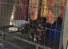 للبيع كلب صغير السلاله غير معروف و انثى