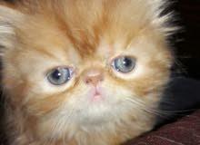 قطه زورار ريد تابي