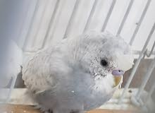 crusted budgie