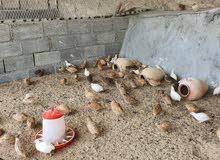 دجاج فرّي للبيع