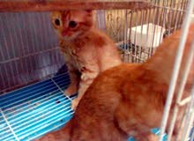 ثلاث قطط للبيع سعر الوحدة 150 قفل لأن رخيصة الام شيراز والأب فرنسي