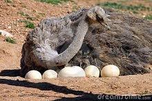 بيض نعام للبيع