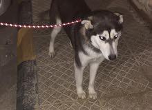 كلبه هاسكي سيبريا أنثى