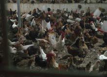 دجاج عماني بياض.  98230074