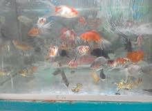 سمك حجم كبير جميع الون للبيع جمله وقطاعي