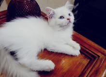 Beautiful Shirazi male Kitten