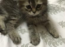 قطة بعمر شهرين مع أغراضها للبيع ب 1000