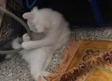 قط شيرازي صغير للبيع ب200