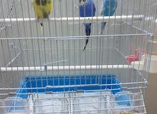 طيور الحب 1 ذكر و 2 أنثى