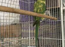 دره انثى ( غير اليف ) الون مميز اخضر + ليموني
