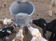 رضاعة دواغير لصغار الأغنام والأبقار والإبل