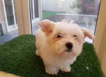 Adorable Maltese Puppy Female Pure Breed مالتيز انثا