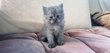 Pure Persian Chinchilla lavender tabby male kitten doll face