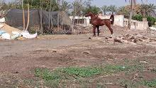 بسم الله ماشاء الله لعشاق الخيول الأصيلة حصان بطل ابن ابطال