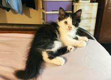 للبيع قطة صغيرة بنت