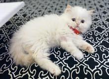 قط بيكي فيس شيرازي