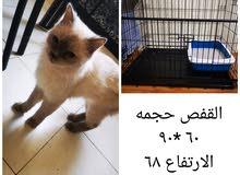 قطة هملايا أنثى +قفص بسعر مغري