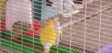 قفص طيور كبير الحجم وجميل المنظر مع 10 اجواز من طيور الروز المتزاوجه.