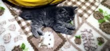 male kitten scouts. 30 days. its very nice and cute.