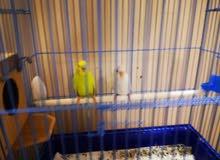 زوج طيور بادجي الذكر أليف