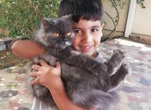 قطه هملاي