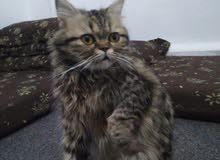 قطة شانشيلا منزلي  أنثى العمر 9 شهور للبيع