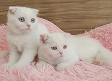 Special offer scottish fold girls 2500dhs each with vaccines