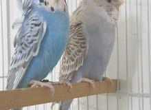طيور هند بادجي