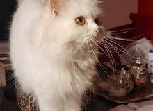 قط شيرزاي