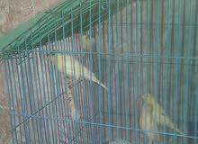 بيع طيور الكناري