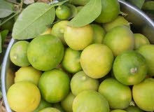 الشتاءوقت الزراعة للبيع شتلات ليمون عماني ثمرةكبيرةنوع يثمرطوال السنةماشاءالله