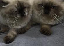 قطط هملايا للبيع نثية او ذكر متعودين على اللتر لكس