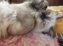 قطة هيمالايا عمرها 3 اشهر