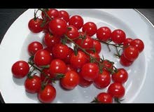 طماطم كرزية