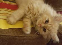 قطط شيرازي . فصيله نقية.
