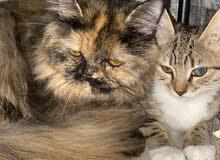 قطة شيرازي مع طفلتها