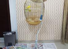 طيور البادجي - Badgies Birds