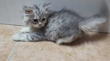 قط شيرازي صغير مكه