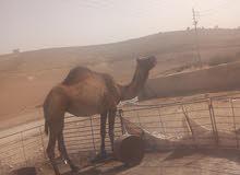مادبا ناقه للبيع بصلاة علي النبي الله يطرح البركة للصاحب النصيب رقم 0780919661