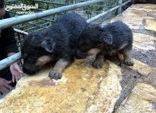 كلاب جيرمن شيبرد بيور للبيع