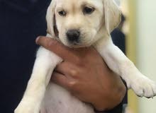 male labrador retriever