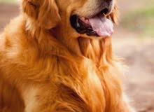 بدي كلب جولدن رتريفر أنثى عمرها يكون 5شهور او اكبر شوي بسعر مناسب