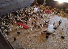 صوص دجاج عماني تهجين فرنسي ب180بيسة صحار بركاء مسقط السيب سويق مصنعه لوى خابورة