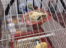 Breeding Syriyan Canary pair