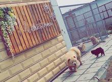 فندقة و تدريب للحيوانات الأليفة  dog training