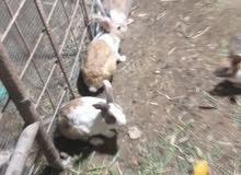 للبيع ارانب كبار ومخاليف