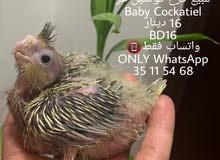 فرخ كوكتيل غر Baby Cockatiel